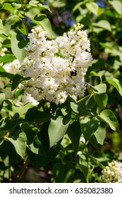 White lilac flowers on a bush