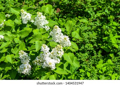 White lilac flowers in spring nature. Spring blooming white lilac flowers. White lilac blossom. Spring white lilac
