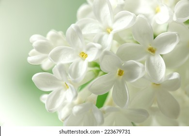 White lilacs flowers  background