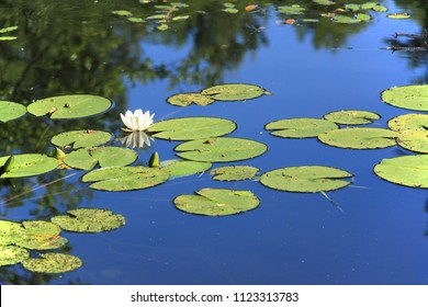 White lilies in blue water of pond.
