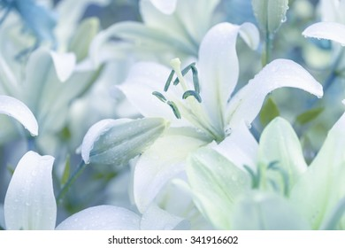 White lilies in garden with dewdrops. Lilium lancifolium.White lily flower