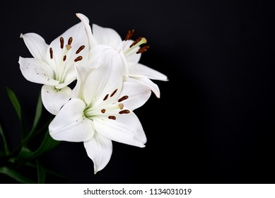 White lilies isolated on a black background. Lilium, lilieae, liliacaea, perennial herbaceous flowering plant