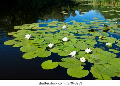 white lilies on a river