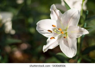 White lilies and pink