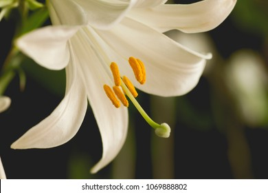 White lilium flowers close up
