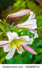 White Lilium regale (called the regal lily, royal lily, king's lily, or the Christmas lily) closeup