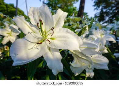 White Lilly in Chiang Mai Flower Festival, Thailand