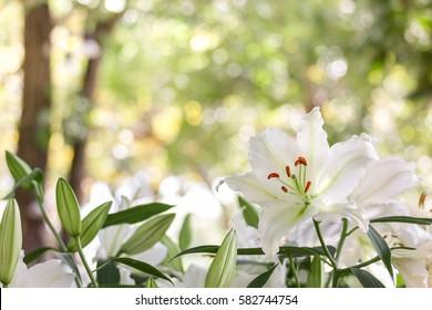 weiße Lilly-Blume im Garten