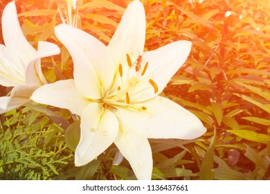 White Lily background