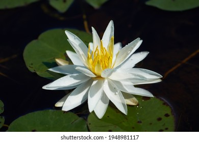 White lily bloom with lilypads