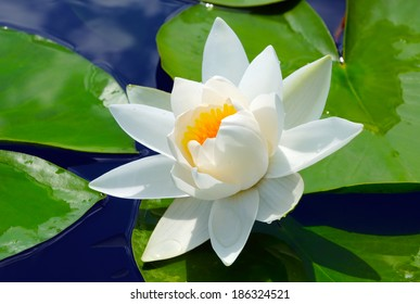 White lily in the blue water of the lake among the green leaves