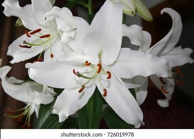 White lily in Casablanca. Canada, north America.