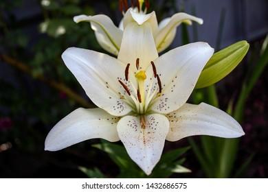 White lily, close-up, top view. The concept of summer, garden, vegetable garden.