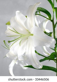 white lily covered with water drops