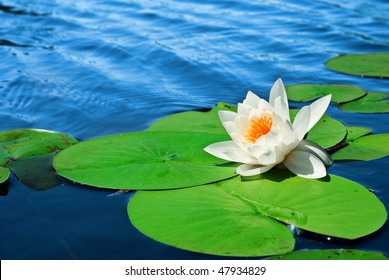 white lily floating in a water