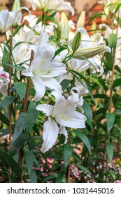 white lily flower in the garden