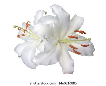 White lily flower isolated on white background