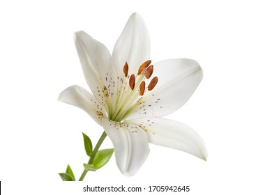 White lily flower Isolated on a white background.