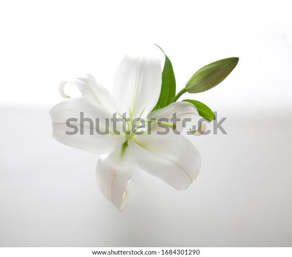 White lily flower on white background.