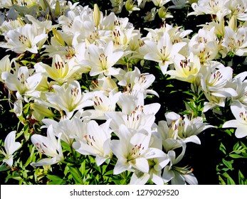 White lily flowers & leaves lilium background pattern. Beautiful white lily (lilium) in summer flower garden. Close-up white madonna lily bush in flower bed. Gentle lilium pattern lilly texture print
