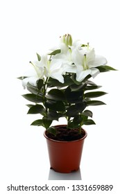 White lily flowers in the pot isolated on  white background. White lily (Lilium candidum) associated in Christianity with Madonna (Madonna lily)