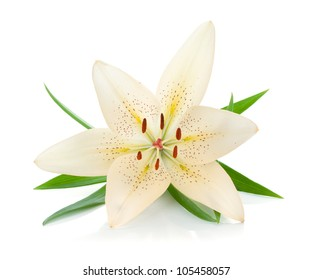 White lily with green leaves. Isolated on white background