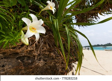 A white lily growing off the rocks by the beach at Kabira Bay in Ishigaki, Okinawa, Japan.