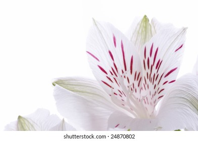 White Lily of the Incas (Alstroemeria L.) isolated