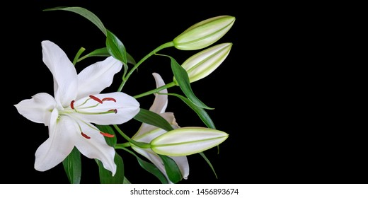 White lily isolated on black background, with space for text on the right. Lilium Navona, an Asiatic lily hybrid variety of white lilies, used in cutflower production worldwide.
