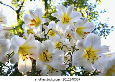 White lily Lilium regale in the garden in summer. Beautiful floral background. Selective focus