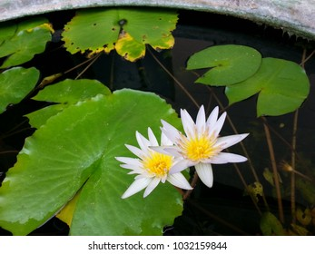 White lily lotus flowers with green leaves background in sunlight