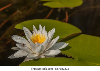 White lily, Nymphaea and its reflection in the lake water