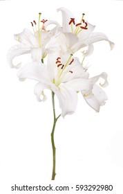 white lily on white background and buds