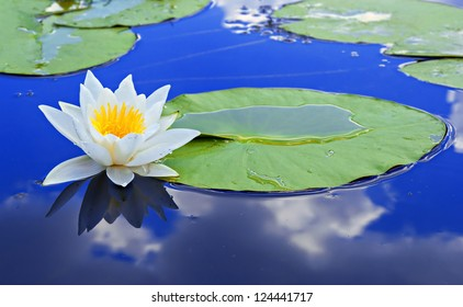 White lily on the lake with a green leaves against a blue water