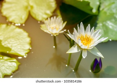 white lily on water