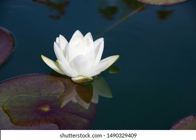 White lily reflection on the water.