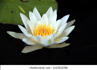 White lily with yellow pistil in water of pond.