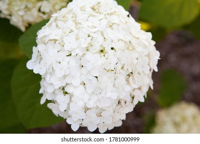 A White Limelight Smooth Hydrangea
