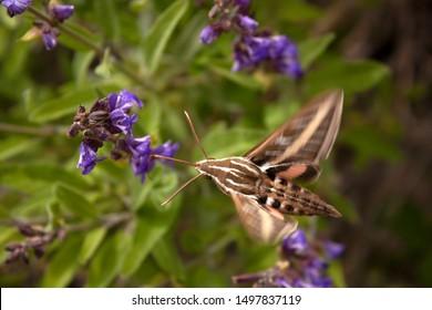 White lined sphinx hummingbird moth pollinating purple sage flowers