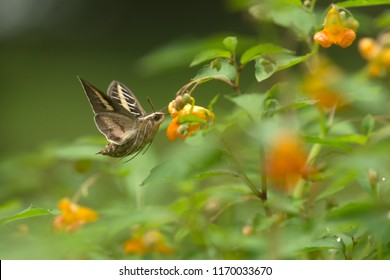 White lined sphinx moth Agnieszka Bacal.