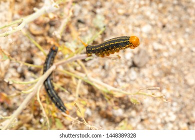 White lined sphinx moth caterpillar Anza borrego