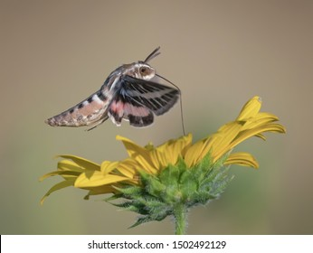 White lined sphinx moth hovering over a flower feeding with its proboscis