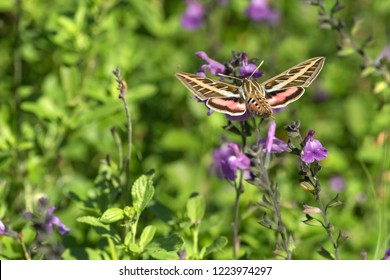 White lined sphinx moth, Hyles lineata,  in Minnesota.