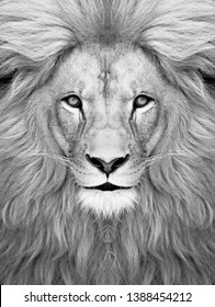 White Lion face wallpaper  Lion head