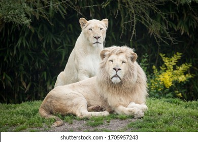 White lion and white lioness in the clearing.