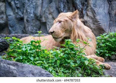 White lion lying down