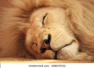 White lion. sleeping white lion in an enclosure. White lion closeup
