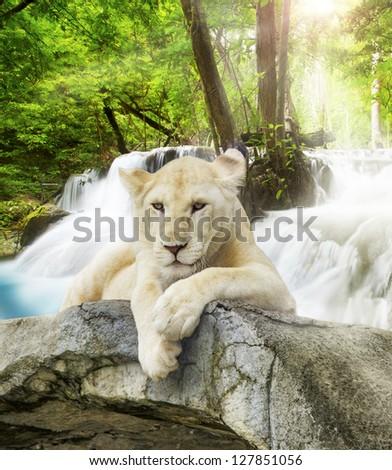 White lion with wild