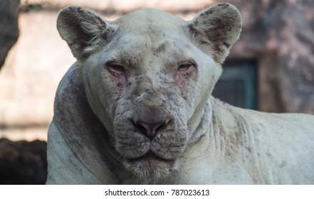 White lion at zoo