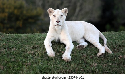 A white liones lying on a grass bank stares at the camera with her intense blue eyes.